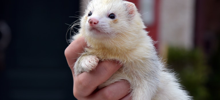 White ferret is one of the prohibited items